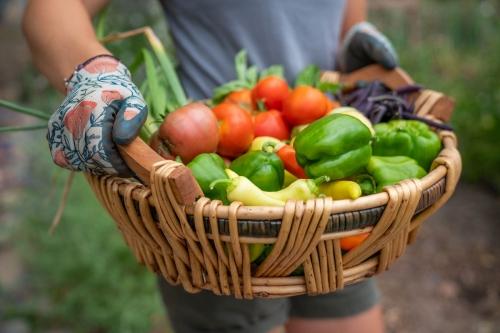 Bountiful harvest from Pioneer garden.